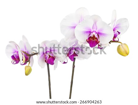 Blooming twig of white purple orchid isolated on white background. Closeup. - stock photo