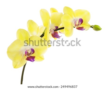 Blooming twig of yellow purple orchid, phalaenopsis isolated on white background. - stock photo