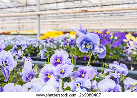 Blooming viola flowers in a Dutch greenhouse - stock photo
