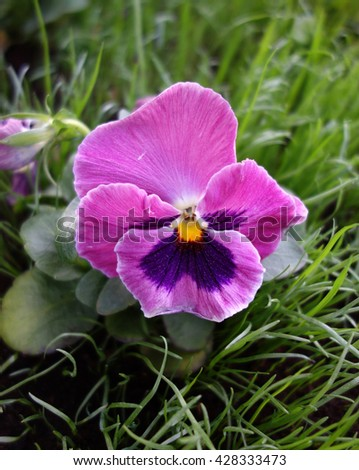 Blooming violet in the garden close-up. - stock photo