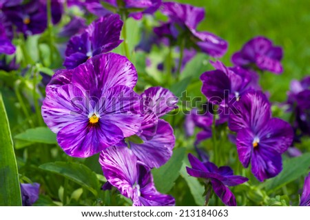 Blooming violet pansies flowers. Floral background - stock photo
