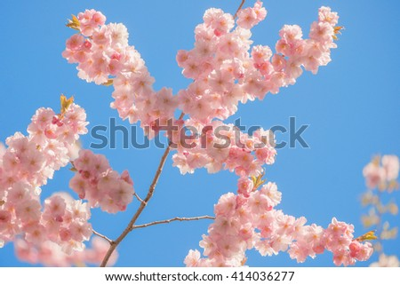 Blooming vivid pink cheery tree flowers during a sunny spring day against blue sky. Sweden - stock photo