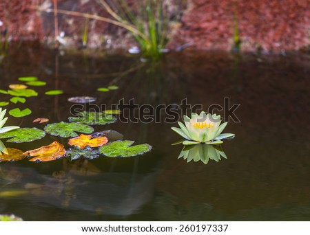 blooming water lily floating in the lake - stock photo