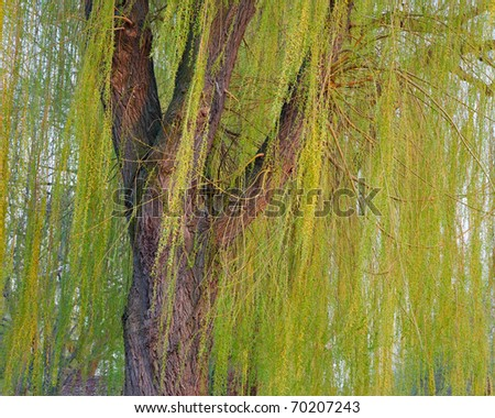 Blooming weeping willow tree - stock photo