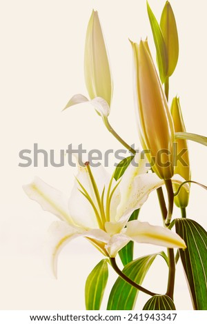 Blooming white lily closeup. Pure romantic flower. Image toned in warm vintage colors. - stock photo