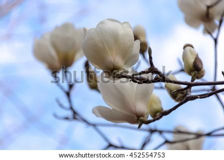 Blooming white magnolia tree shallow depth of focus - stock photo