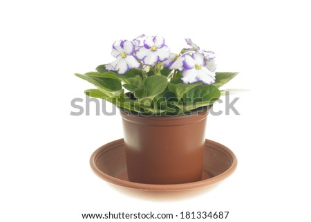 Blooming white violet in hers pot isolated on white background - stock photo