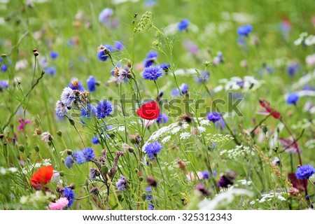 blooming wild flowers on the meadow at spring time poppy and cornflowers - stock photo