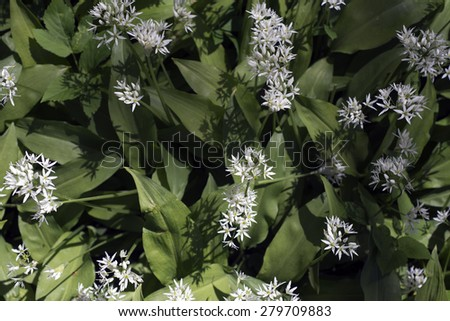 Blooming wild garlic at the meadow - stock photo