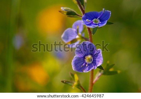 Blooming wildflowers in a meadow. close up. blue blooming Cardamine pratensis against the blurred nature background of a rural field. Group of blue flowers in green grass - stock photo