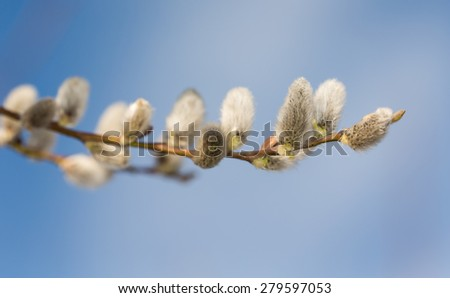 blooming willow against the sky close up - stock photo