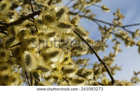 Blooming willow branches on a blue sky background. - stock photo