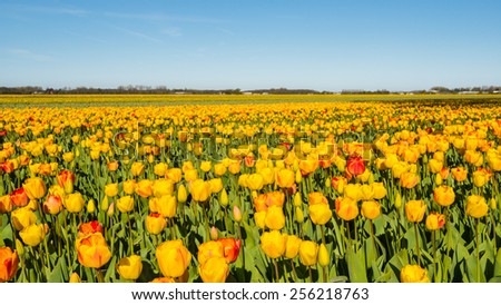 Blooming yellow and red tulip plants in a large field of a Dutch bulb nursery. - stock photo