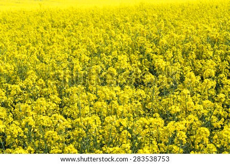 Blooming yellow field of rapeseed flowers  - stock photo
