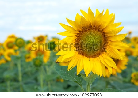 Blooming yellow sunflower with a bee on a background field - stock photo