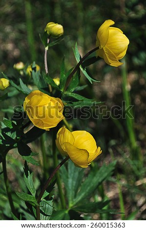 Blooming yellow wild flowers in the meadow (trollius europaeus) - stock photo