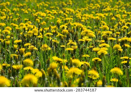 Blossom and overblown yellow dandelions on green meadow closeup - stock photo