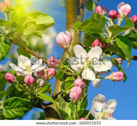 Blossom apple tree in a spring garden in sunlight (backgrounds - concept) - stock photo