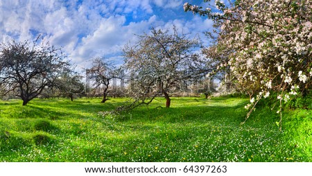 blossom apple trees garden in the Spring - stock photo