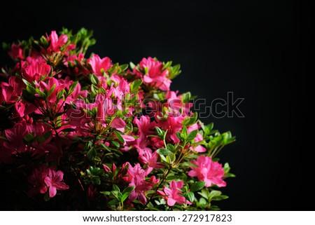 blossom azalea - stock photo