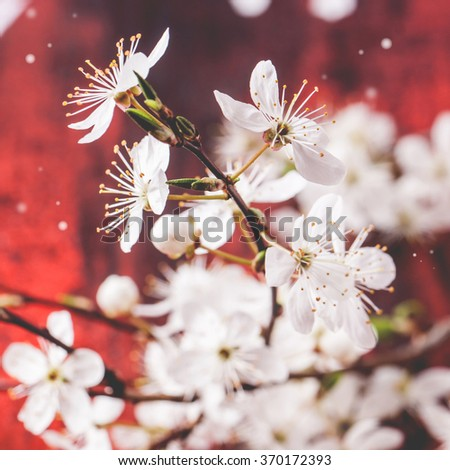 Blossom branch of cherry-tree on red wooden background. Square image with selective focus - stock photo