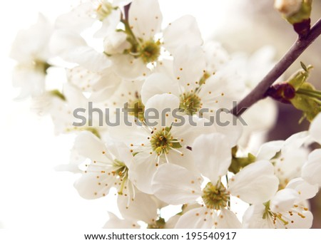 blossom cherry branch with white flowers  - stock photo