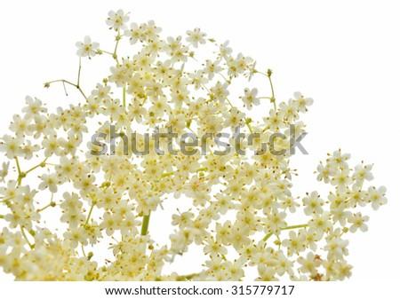 Blossom elderflower on white background - stock photo