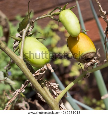 Blossom end rot in egg tomatoes   is  a physiological disorder caused by a calcium deficiency imbalance within the plant  also occurring  in pepper, squash, cucumber, and melon fruits. - stock photo