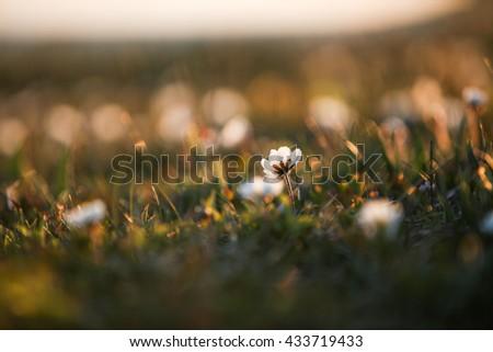Blossom flower in evening sun - stock photo