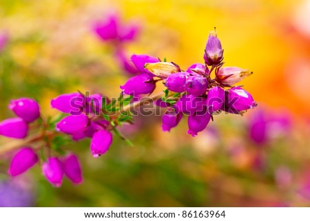 Blossom heather close up with autumn background - stock photo
