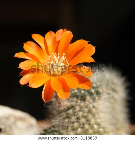 Blossom of a cactus - stock photo