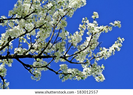 Blossom of a pear tree - stock photo