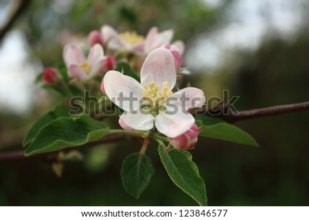 Blossom of an apple tree - stock photo