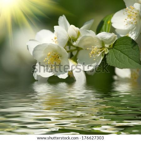 Blossom of jasmine and sunlight - stock photo