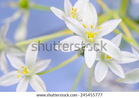 blossom of ornithogalum on blue - stock photo