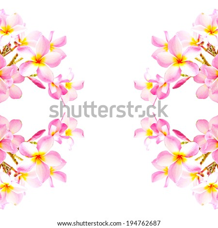 Blossom of pink Zephyranthes Lily, Rain Lily, Fairy Lily, Little Witches, isolated on a white background - stock photo