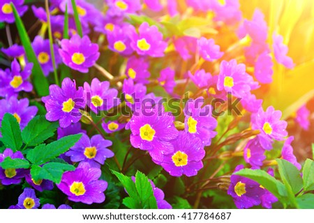 Blossom of spring flowers - Primula juliae, also known as Julias primrose or purple primrose, under warm sunlight. Spring closeup floral landscape, natural floral background. - stock photo