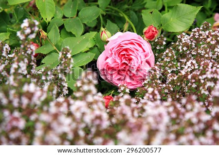 Blossom of the historic pink rose Louise Odier, bourbon rose with thyme in the summer garden. Foto with focus on pink flower. - stock photo