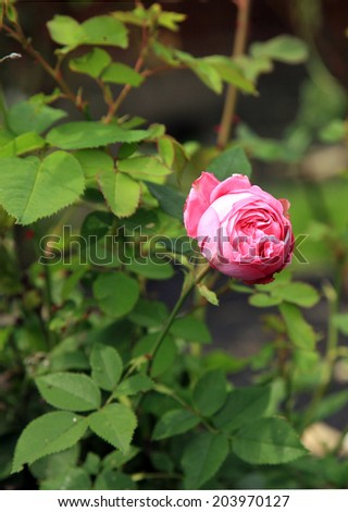 Blossom of the historic rose Louise Odier, bourbon rose in the summer garden. - stock photo