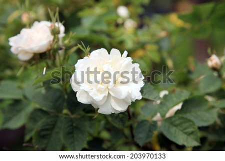 Blossom of the historic white rose  in the summer garden. - stock photo
