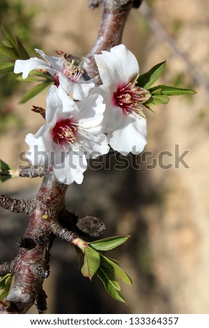 Blossom on sweet almond tree (Species: Prunus dulcis), is a tree native to the Middle East and South Asia and was spread by humans in ancient times along the shores of the Mediterranean Region. - stock photo