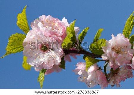 Blossom pink sakura in sunny spring day - stock photo