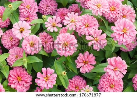 Blossom Pink Zinnia Flowers in Garden - stock photo