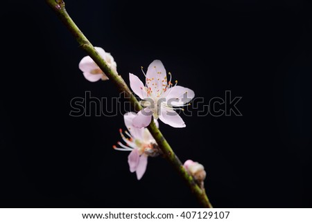 blossom sakura â??black background - stock photo