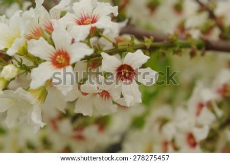 Blossom Tree - stock photo