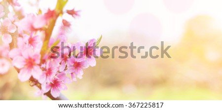 Blossom tree over nature background/ Spring flowers/Spring Background. Peach blossoms. - stock photo