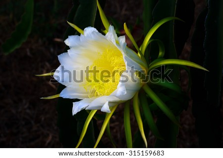 Blossom white flower of dragon fruit, night blooming flower. - stock photo
