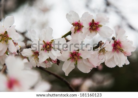 Blossoming almond flowers - stock photo