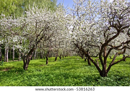 Blossoming apple-tree in garden - stock photo
