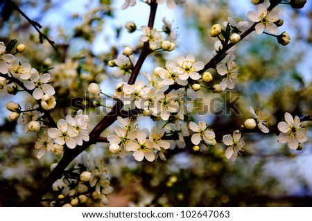 Blossoming apple tree with white flowers on blue sky background close-up, Sergiev Posad, Moscow region, Russia - stock photo